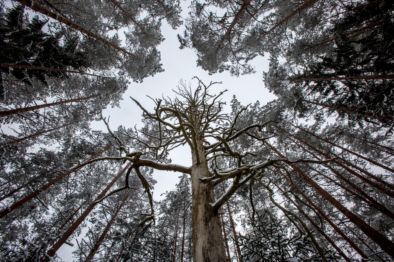 """Varėnos rajone plytinti Dainavos giria turi ne vieną gamtos mylėtojo, smalsuolio akį patraukiantį objektą. Tačiau vienas iš jų – tikrai išskirtinis, tai – šimtametė Dūbo pušis. 26 metrus į viršų besistiebianti, daugiau nei metro apimties pušis saugoma jau nuo 1960 m. Norintieji """"susipažinti"""" su senole turėtų traukti šiauriau nuo Dubo kaimo, unikali pūšis įsitaisiui visai šalia kelio, tad ilgokai ieškoti netenka."""