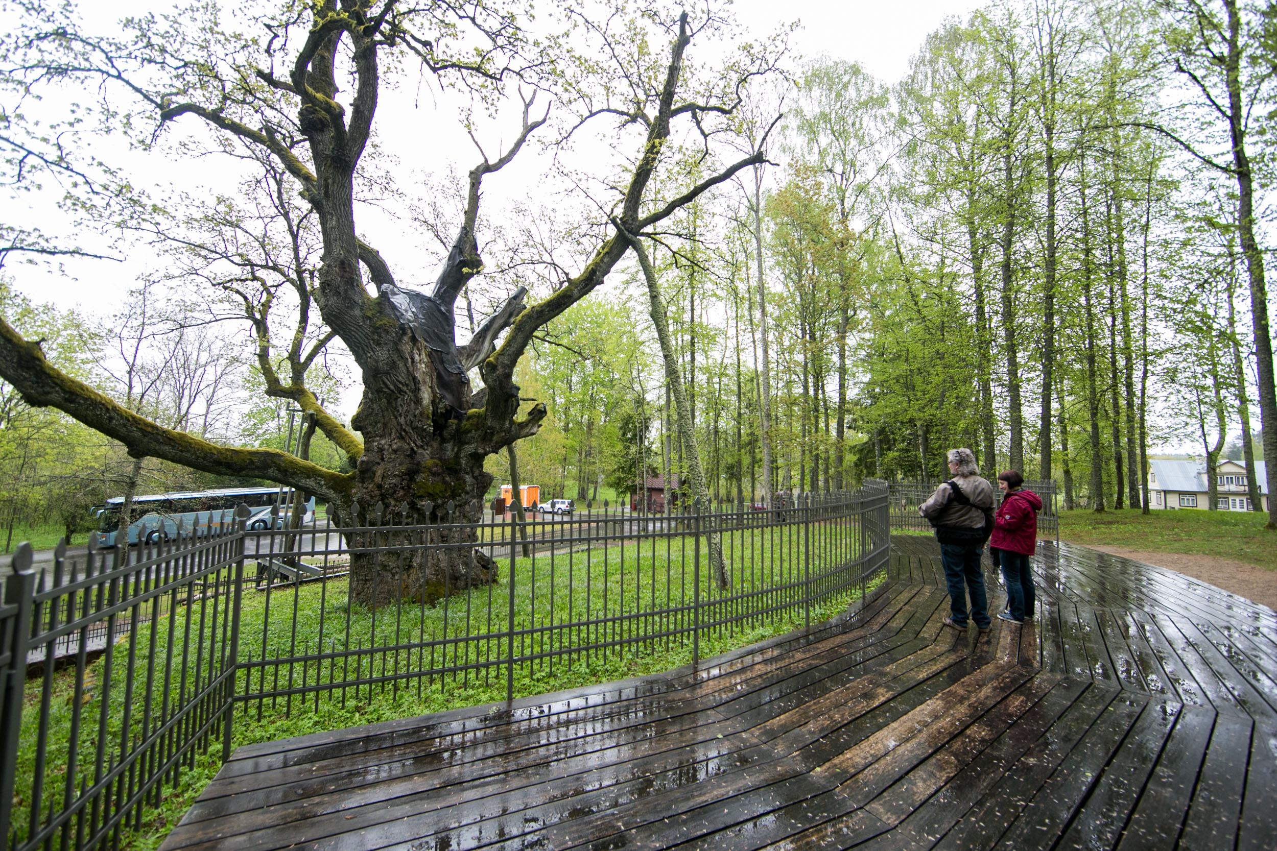 """Apkabinę medžio kamieną akimirką pajuntame ramybę ir palengvėjimą. O jei tame kamiene saugoma keli šimtai metų istorijos? Lietuvoje vis dar žaliuoja jau nebe šimtmečius, o tūkstantmečius skaičiuojantys ąžuolai, kelių kamienų pušys, medžiai, augantys iš vieno kamieno arba tarsi """"laikantys"""" vienas kitą už bendros šakos – yra įdomiausių medžių – gamtos paminklų, kuriuos per vasarą aplankyti kviečia Valstybinė saugomų teritorijų tarnyba."""